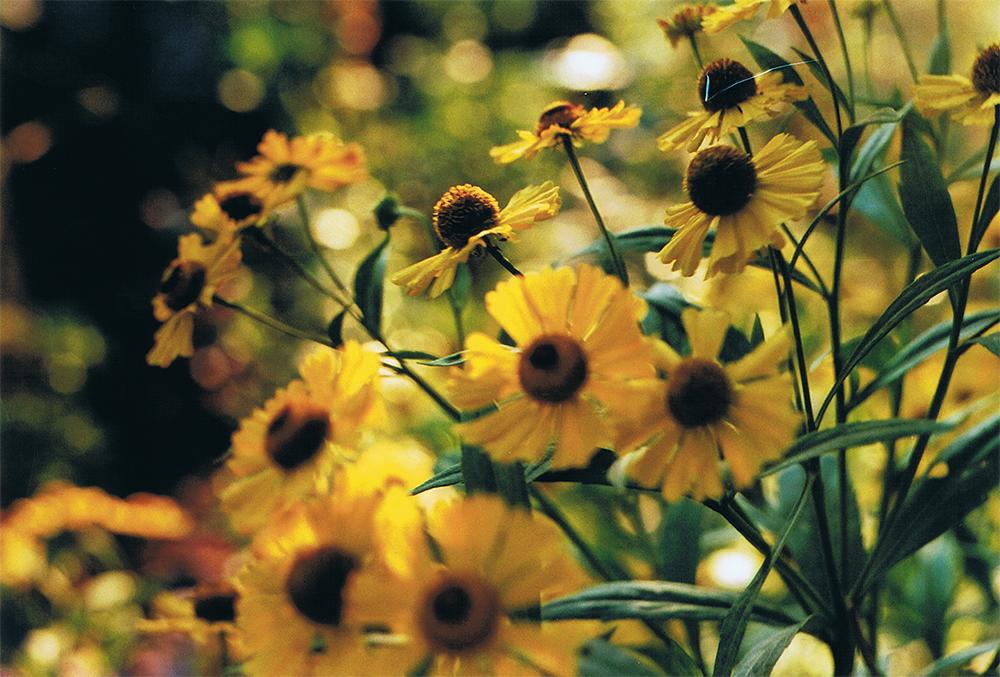 Yellow helenium