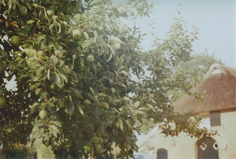 Apple tree in Bronkhorst