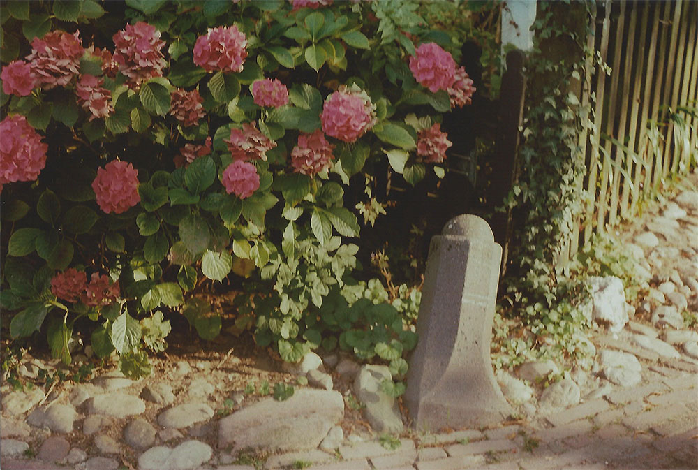 Pink Hydrangeas
