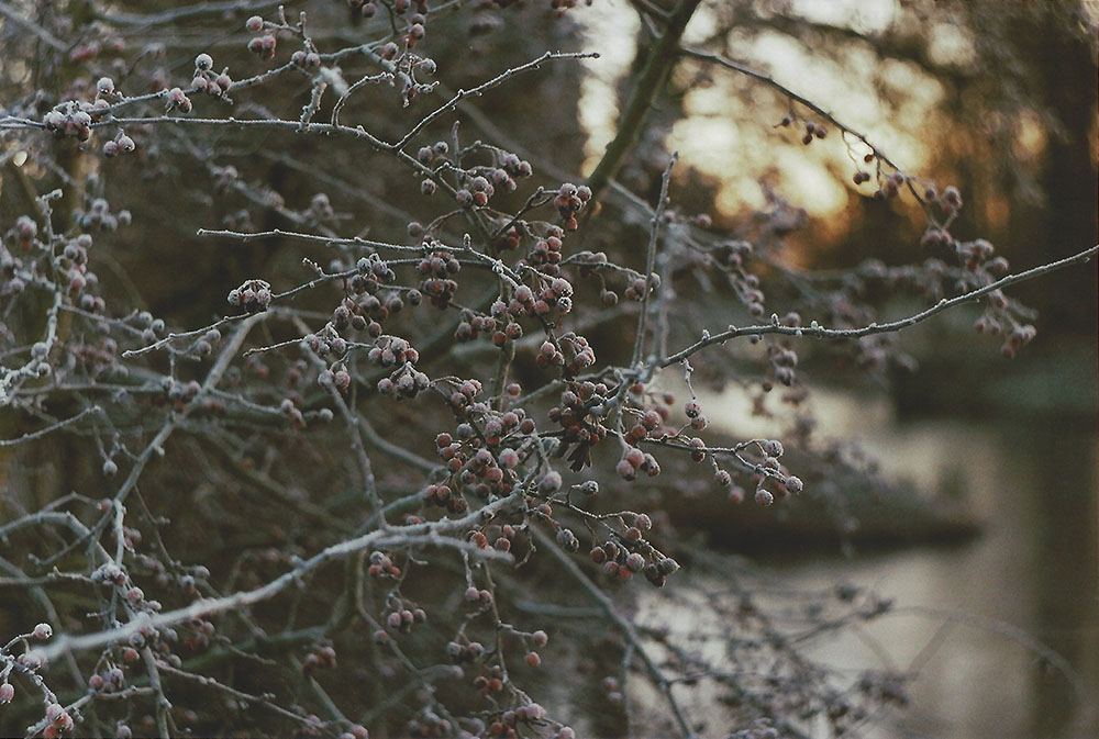 Winter Morning - Berries | another reverie