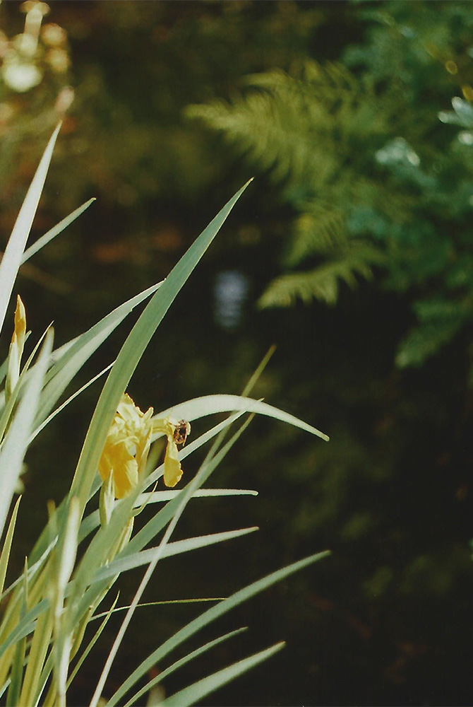 Yellow Irises | another reverie